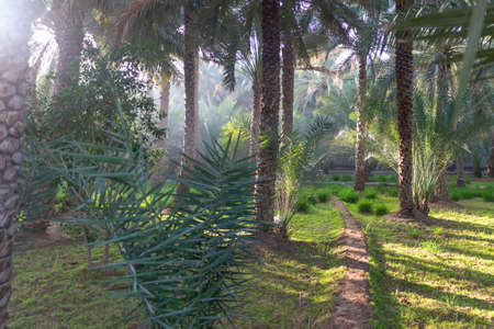 Path on a misty morning in Al Ain Oasis, United Arab Emirates