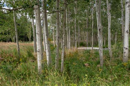 Birch grove in Reford gardens, Metis-sur-mer, Province of Quebec, Canada
