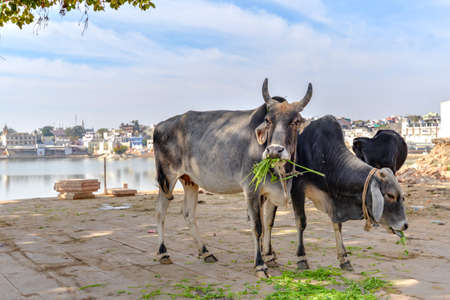 Holy cows near the lake of Pushkar, Taken on a hazy winter afternoon, India Zdjęcie Seryjne