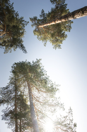 Crowns of pine trees and sun Stock Photo