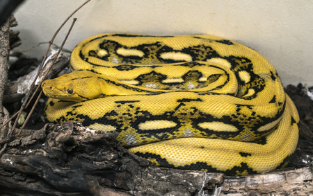 Yellow and black patterned snake. Serpent on the ground.
