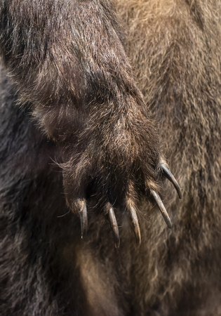 Big Brown Bear paw close-up. Bear nails and fur on background.