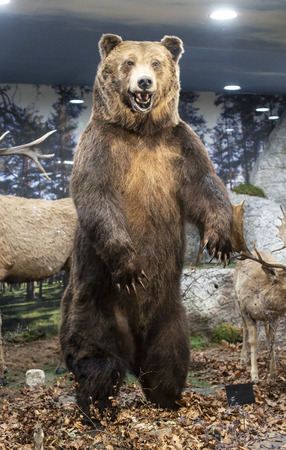 Brown grizzly bear standing on two legs in the forest. A roaring bear with an open mouth. Showcase in ecological park. Stock Photo