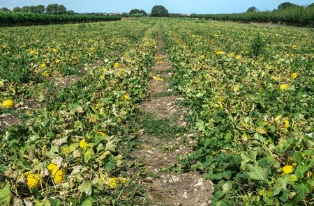 Yellow melons in the field. Harvest melons in agricultural land. Melons farm in Italy. Imagens