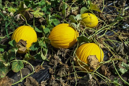 Yellow melons in the field. Harvest melons in agricultural land. Melons farm in Italy. Stock Photo