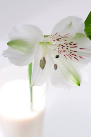 easter lily: Delicate white day or Easter lily with a distinctive red pattern for pollinating insects standing in a glass of milk over white with copy space