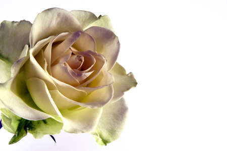 fantasy rose isolated one a white background photo