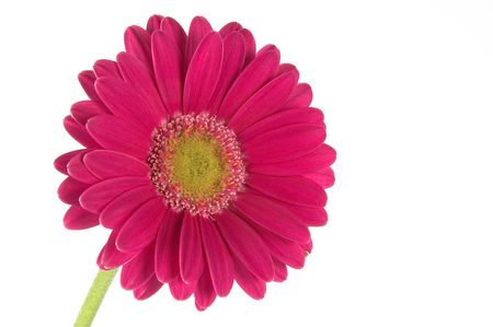 red gerbera isolated one a white background photo