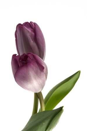 purple tulip isolated one a white background photo