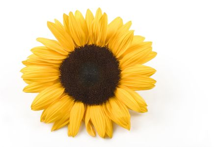 beautiful sunflower isolated on white background photo