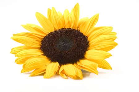 sunflower isolated: bellissimo girasole isolato su sfondo bianco Archivio Fotografico