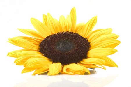 sunflower isolated: Bella girasole isolato su sfondo bianco