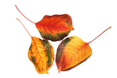 Three autumn leaves  photo