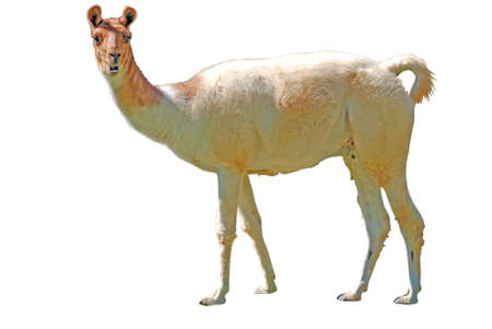 Llama isolated on white