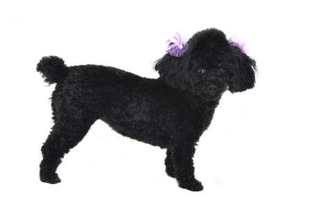 耳で紫の弓と黒のトイプードル。 白い背景上に分離。