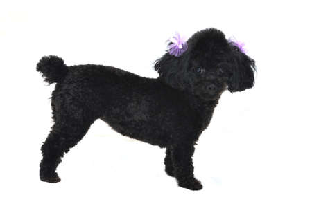 Black toy poodle with purple bows in ears.  Isolated on white background.