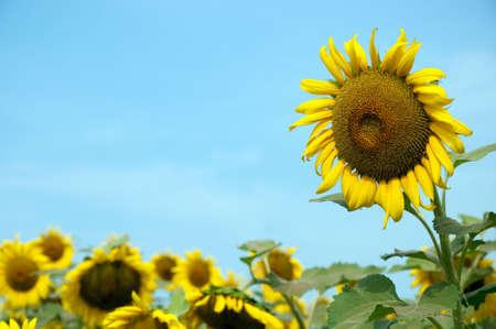taller: One sunflower standing taller than other sunflowers in field.