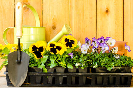 violas: Garden planting with daisies, violas, watering can, trowel, and pots on wood background  Stock Photo