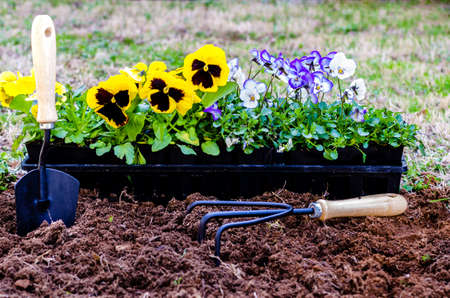 Planting flowers   Daisies and violas in pots on cultivated soil with trowel and cultivator