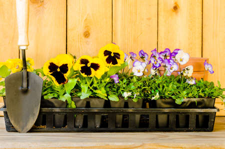 violas: Planting garden with daisies, violas, cultivator, and pots on wood background  Stock Photo