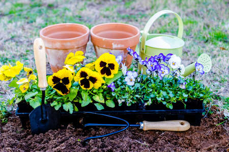violas: Spring fever   Pots of daisies and violas with trowel, cultivator, and watering can on cultivated soil    Stock Photo