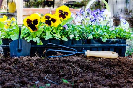 violas: Spring gardening   Pots of daisies and violas with trowel, cultivator, and watering can on cultivated soil    Stock Photo