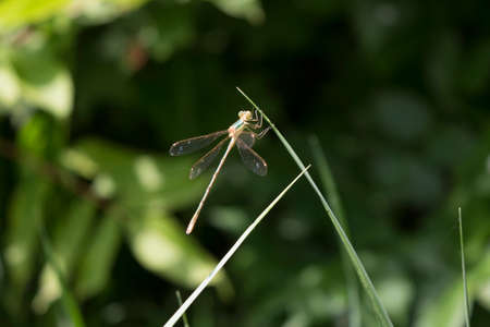 antenna dragonfly: Dragonfly on a blade of grass