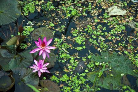 loto: Flores de loto