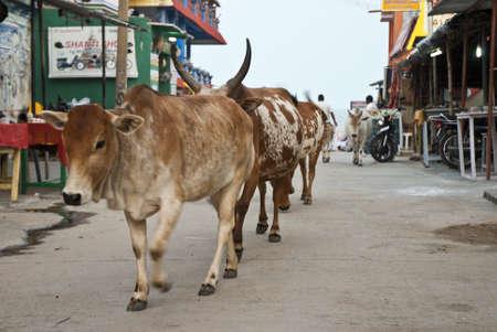 mamallapuram: vacas en mamallapuram