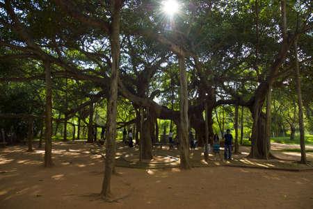 arbol: Auroville, arbol gigante