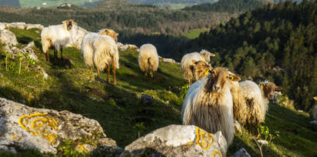Lamb, oveja