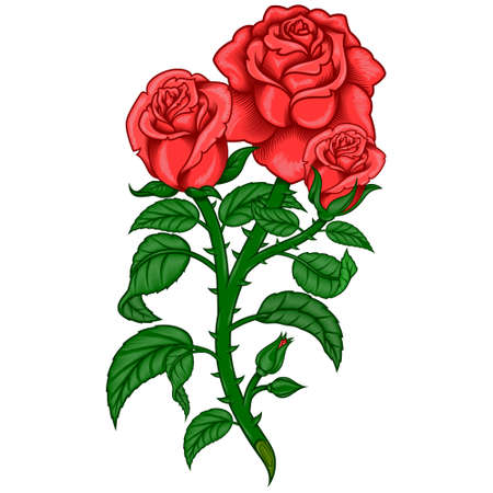 Vector design of a bouquet of roses, with leaves stem and thorns, all on white background