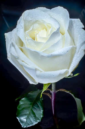 Beautiful white rose with drops of dew, on black background. The ability to please the beauty.