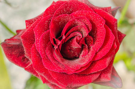 Beautiful red rose with drops of dew, on light background.
