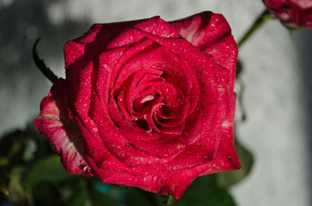 Beautiful red rose with drops of dew, on light background. Place for text.