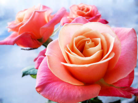Beautiful pink rose on clear background