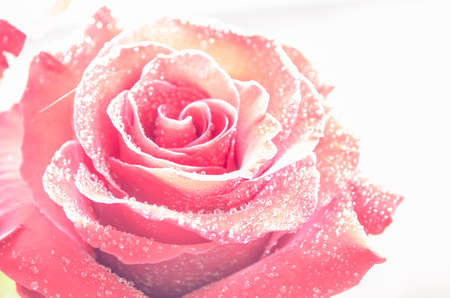 Beautiful red rose with drops of dew, on ligth background with leaves. Place for text. Stock Photo