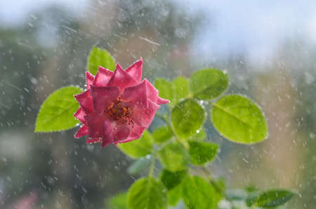 Beautiful Soft pink roses with with leaves under light rain. With drops of dew, on ligth background with leaves. Place for text.