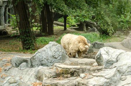 Big polar bear walking at the Zoo in Kiev.