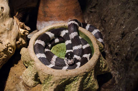 common kingsnake curled up in a terrarium in Kiev zoo.