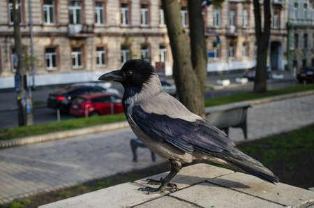 Curious gray crow is watchingin the Park closeup.