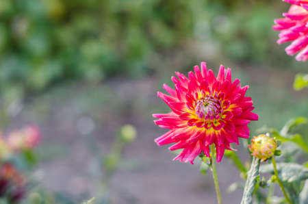 Red - yellow flower blooming on green background. 免版税图像