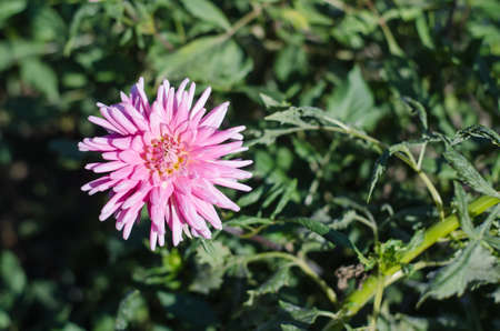 Pink flower blooming on green background. 版權商用圖片