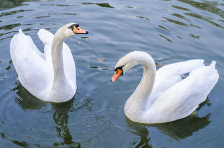 Two white swans swims in a pond together. Reklamní fotografie