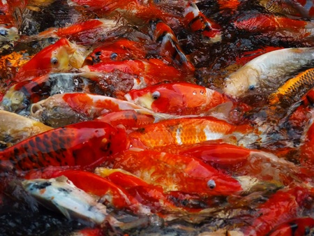 Group of Colorful Fancy Carp - Symbol of Rich photo