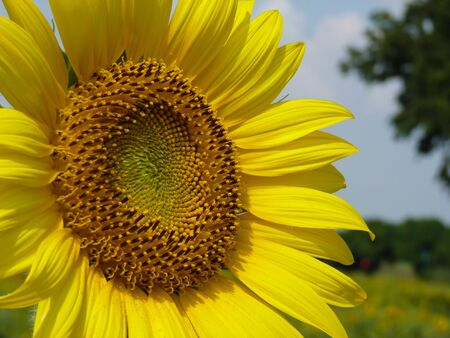 Close-up of Beautiful Sun Flower  photo