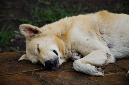 desertion: Close Up of Sleeping Vagrant Dog in Thailand Stock Photo