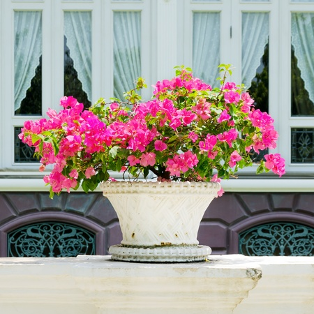 Image of Bougainvillea Flowerpot photo