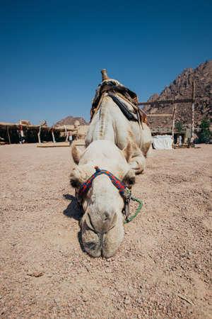 el sheikh: Camel in Sharm El Sheikh