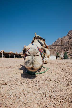 sharm el sheikh: Camel in Sharm El Sheikh